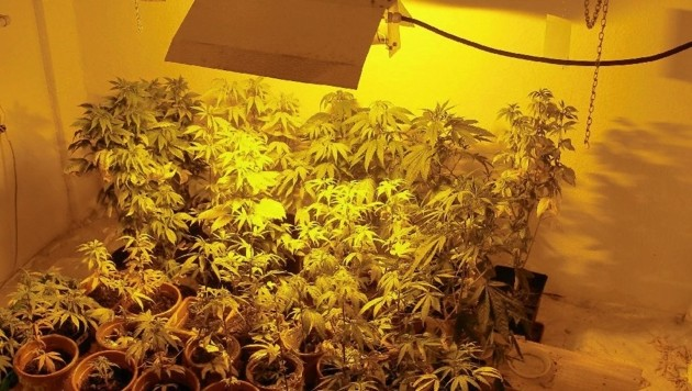 Die Polizisten entdeckten am Dachboden eine Cannabisplantage wie diese (Symbolbild). (Bild: Polizei)