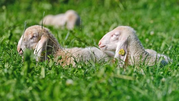 Die Schafe in Spital am Pyhrn hatten kein so schönes Leben wie ihre Artgenossen auf diesem Symbolbild (Bild: Christof Birbaumer / Kronenzeitung)