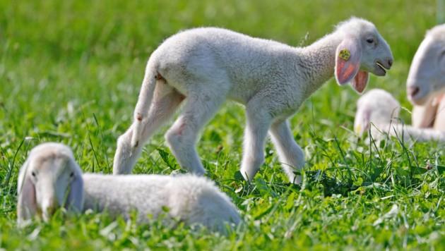 Die Bauern holen ihre Schafe von den Almen (Symbolfoto). (Bild: Christof Birbaumer / Kronenzeitung)