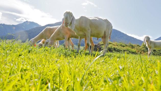 Die Bauern sehen ihre Herden durch den Wolf bedroht (Symbolbild). (Bild: Christof Birbaumer / Kronenzeitung)
