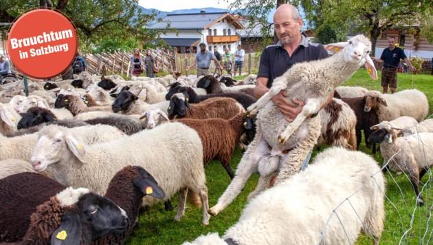 Jagerbauer Anton Herzog sucht die Schafe nach der Farb-Markierung zusammen.