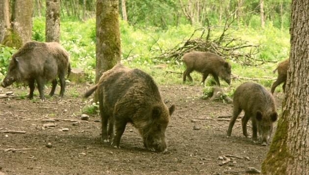 Neue Regeln für die Wildschweinjagd in der Antheringer Au (Bild: Herbert Gschwendtner)