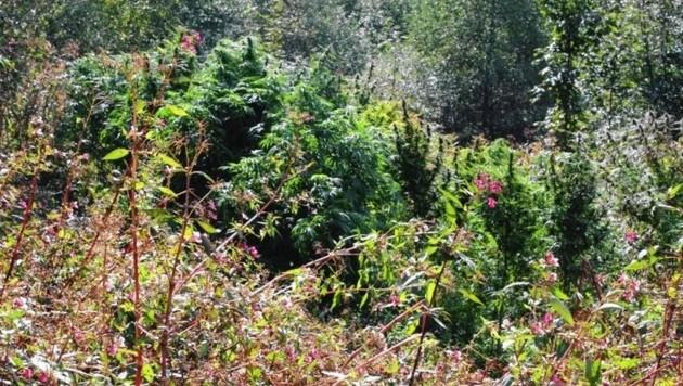 Der Oberösterreicher hatte Cannabis in einem Waldstück (Symbolbild) angebaut. (Bild: LPK Salzburg)