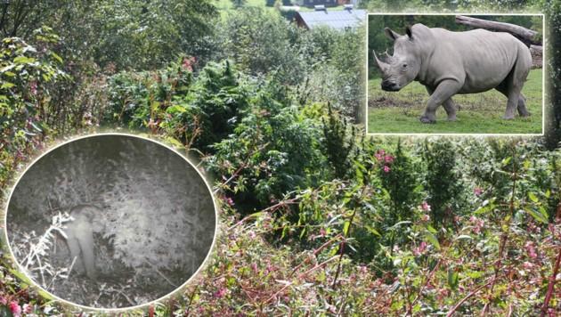 """Im Nashorn-Gehege und in einem Waldstück in Saalfelden wurde schon Cannabis angebaut. Einer der """"Bauern"""" wurde von einer Wildtierkamera abgelichtet. (Bild: Polizei/Tschepp)"""