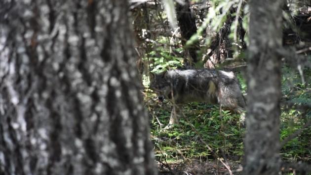 Das Gebiet rund um Salzburg erstreckt sich über 716.000 Hektar. Für einen Wolf ist es demnach ein Leichtes, sich in unseren Wäldern zu verstecken. (Bild: Honorar)