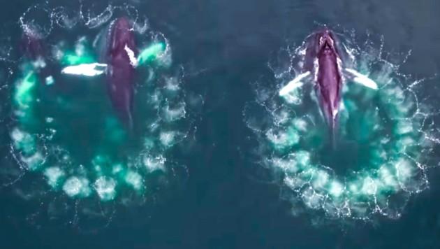 Video zeigt raffinierte Jagdmethode der Buckelwale