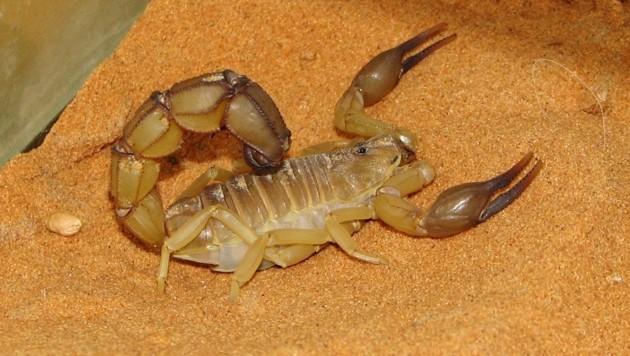 Ein Skorpion der Gattung Androctonus australis (Bild: Wikipedia/HTO)