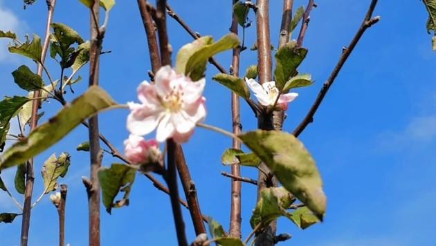 Ein blühender Apfelbaum in der Oststeiermark (Bild: Christa Blümel)