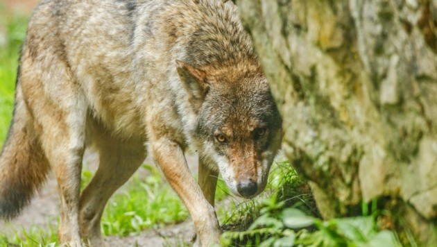 Ein Wolf ist samt eines toten Tieres auf einem Video zu sehen (Bild: Gerhard Schiel)