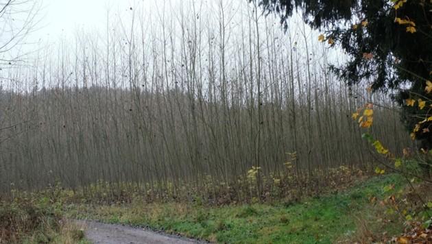 Diese 20.000 Bäume wurden vor acht Jahren gepflanzt, nun müssen sie gerodet werden. (Bild: Einöder Horst)
