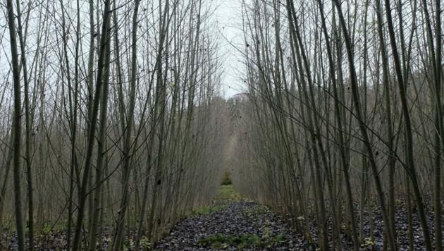 Dieser Wald wurde 2011 gepflanzt, nun muss er gerodet werden. (Bild: Einöder Horst)