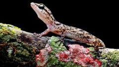 Die neue Art Phyllodactylus andysabini wurde auf dem Vulkan Wolf entdeckt. (Bild: Tropical Herping/Lucas Bustamante)