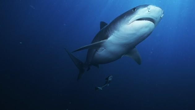 Symolbild: Ein Tigerhai (Galeocerdo cuvier) im offenen Meer (Bild: stock.adobe.com)