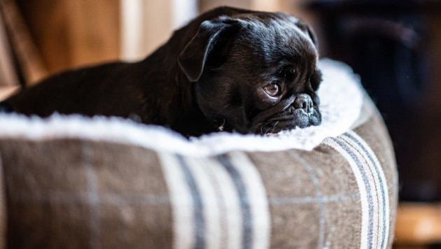 "Mops-Hündin ""Wilma"" liegt in einem Hundekorb. (Bild: APA/APA)"
