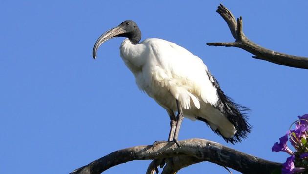 Ein Heiliger Ibis (Bild: Wikipedia/Christiaan Kooyman (Gemeinfrei))