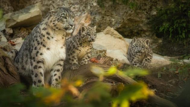Welche Rufnamen passen zu den Salzburger Schneeleoparden-Jungtieren? (Bild: WH-PhotoArt)