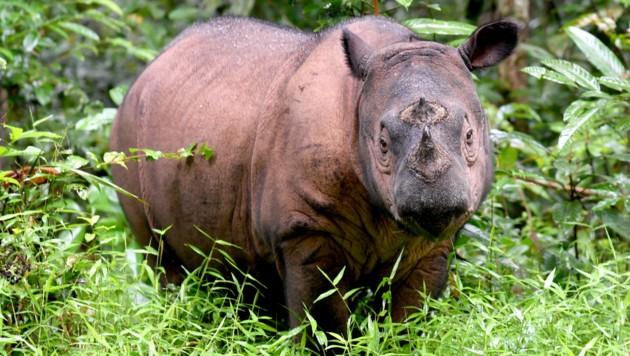 Ein Sumatra-Nashorn-Bulle (Bild: AFP)