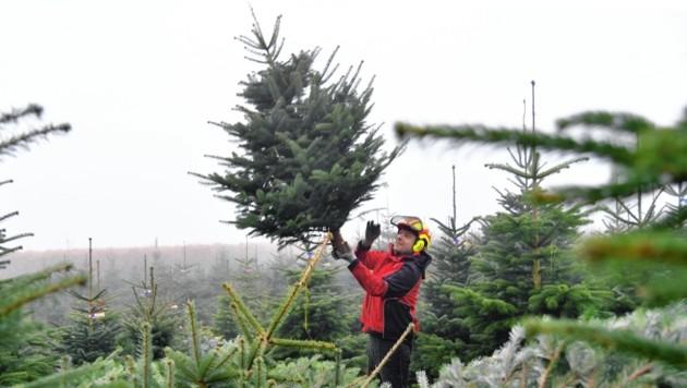 Klaus Egger sortiert in seiner Christbaumkultur in Göming frisch geschnittene Nordmanntannen. (Bild: BARBARA GINDL / APA / picturedesk.com)