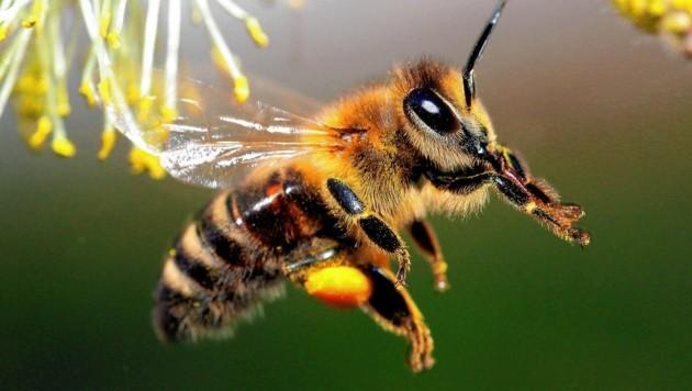 Statt sich auf den Winter einzustellen und ihren Stoffwechsel herunterzufahren sind immer noch viele Bienen unterwegs (Bild: SEPP PAIL)
