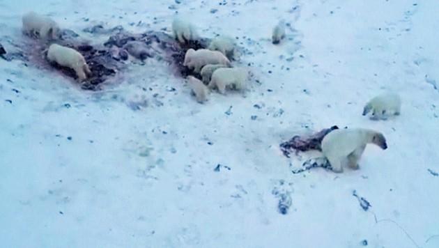 Eine Drohne filmte die Tiere nahe des Dorfs Ryrkaipij. (Bild: KameraOne)