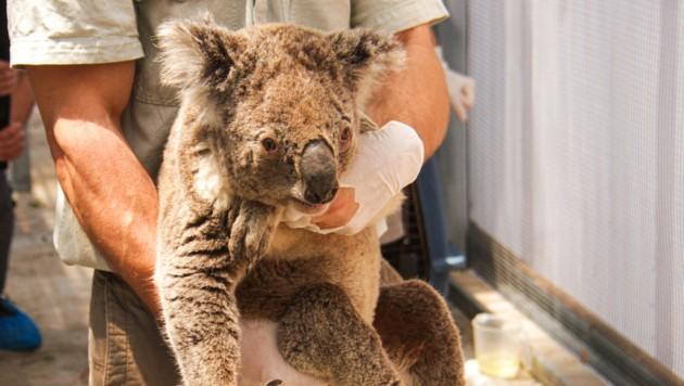 Ein vor den Buschfeuern geretteter Koala im Taronga Zoo in Sydney (Bild: AFP)