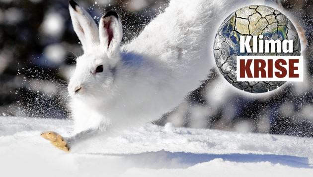 Hoppelt wegen des Klimawandels einer ungewissen Zukunft entgegen - der Schneehase. (Bild: ServusTV, krone.at-Grafik)