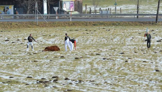Schlachthof-Mitarbeiter töteten das entlaufene Tier mit Messerstichen in den Hals. (Bild: ZOOM.TIROL)