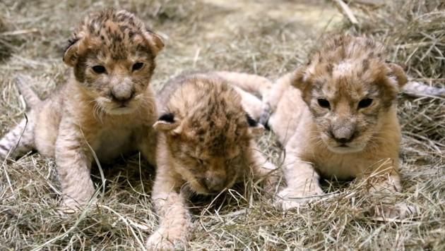 """Die drei Löwenbabys """"Spartacus"""", """"Maximus"""" und """"Tiberius"""" (Bild: Tierwelt Herberstein)"""