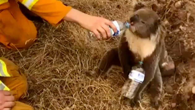 Ein Koala lässt sich von einem Feuerwehrmann Wasser einflößen. (Bild: AP)