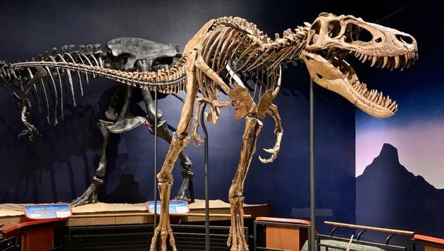 "Das Skelett von Nanotyrannus ""Jane"" im Burpee Museum of Natural History in Rockford (Illinois) (Bild: Wikipedia/Zissoudisctrucker (CC BY-SA 4.0))"