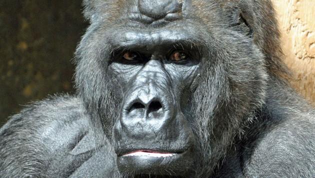 """Das Gorilla-Männchen """"Massa"""" auf einem Archivfoto aus dem Jahre 2010 (Bild: APA/dpa/Horst Ossinger)"""