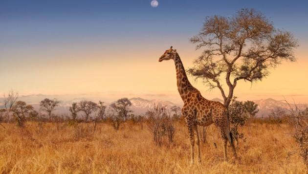Giraffe im Kruger-Nationalpark (Bild: ©Christian - stock.adobe.com)