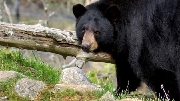 Amerikanische Schwarzbären leben in großen Teilen Nordamerikas. Sie gelten im Vergleich zu den Grizzlybären als weniger gefährlich. (Bild: stock.adobe.com (Symbolbild))