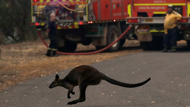 A wallaby hops across a road to flee a fire near Mangrove Mountain, north of Sydney Tuesday, Dec. 10, 2019. Hot dry conditions have brought an early start to the fire season. (AP Photo/Rick Rycroft) (Bild: Copyright 2019 The Associated Press. All rights reserved.)