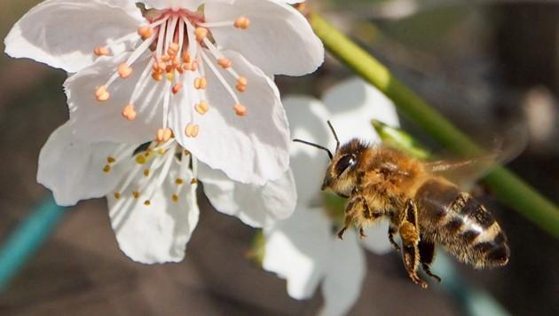 So wertvolle Bestäuber: Unsere Bienen. Leider bedroht! (Bild: Harald Dostal)