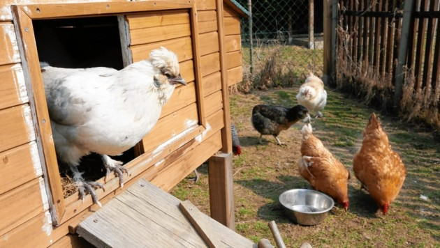 Für glückliche Hühner, die Auslauf und Sonne gewöhnt sind, ist eine mögliche Stallpflicht vielfach natürlich desaströs (Symbolbild) (Bild: Krone)