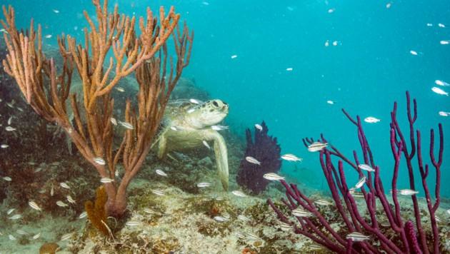 Grüne Schildkröte (Bild: © Shane Gross/Greenpeace)