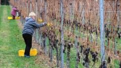 In den schneefreien Weingärten fand die erste Ernte des Jahres statt. (Bild: Fürbass Josef)