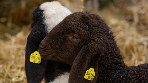 """Pro Tag befinden sich um die 300 Schafe im """"Messe-Stall"""". (Bild: Christian Forcher)"""