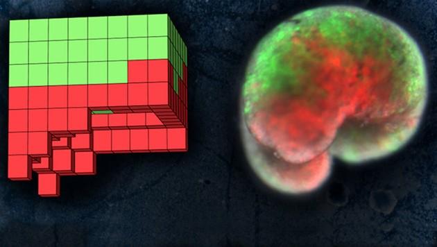 Die Entwürfe des Supercomputers (links) wurden im Labor zu Strukturen aus Stammzellen (rechts) zusammengebaut. (Bild: University of Vermont/Sam Kriegman)