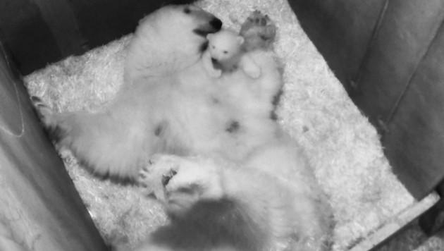 """Das zehn Wochen alte Eisbären-Jungtier spielt mit Mutter """"Nora"""" in der Wurfhöhle. (Bild: APA/TIERGARTEN SCHÖNNBRUNN)"""