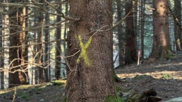 Dieser Baum soll gefällt werden (Bild: Hermann Oppelland)