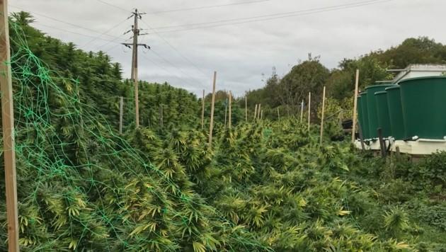 Die Marihuana-Plantage in St. Nikolai im Sausal (Bild: LPD Steiermark)