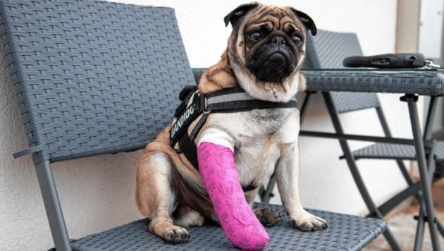 Mops Alf wartet vor dem VetZentrum Anif auf seine Behandlung. (Bild: Camera Suspicta / Susi Berger)