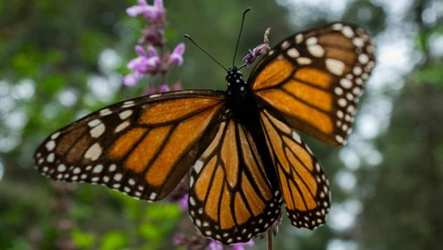 Der Monarchfalter sucht Schutz vor der Kälte in den Wäldern von Michoacan, wo sich Umweltschützer für ihn einsetzen. Das ist der illegalen Holz-Mafia ein Dorn im Auge. (Bild: AFP)