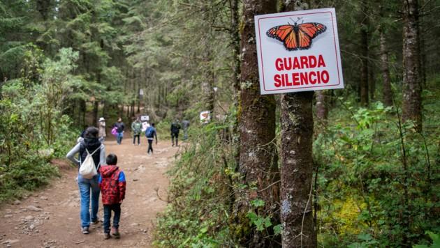 Das Rosario-Schutzgebiet im mexikanischen Bundesstaat Michoacan ist im Winter die Heimat der Monarchfalter. (Bild: AFP)