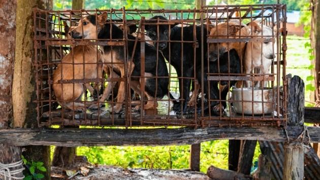 Bilder, die vor Entsetzen erschauern lassen: Bevor die hilflosen Tiere in Kambodscha auf dem Teller von Restaurants landen, gehen sie durch die Hölle. (Bild: Vier Pfoten)