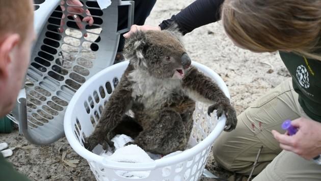 Tierpfleger kümmern sich um einen verletzten Koalabären. (Bild: AFP)