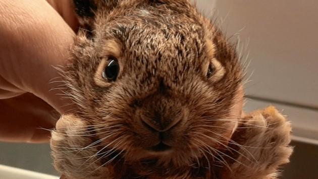 """Hasenbabys bitte nicht """"aufklauben"""". Im Normalfall kommt die Mutter regelmäßig, um es zu säugen. (Bild: Pfotenhilfe)"""