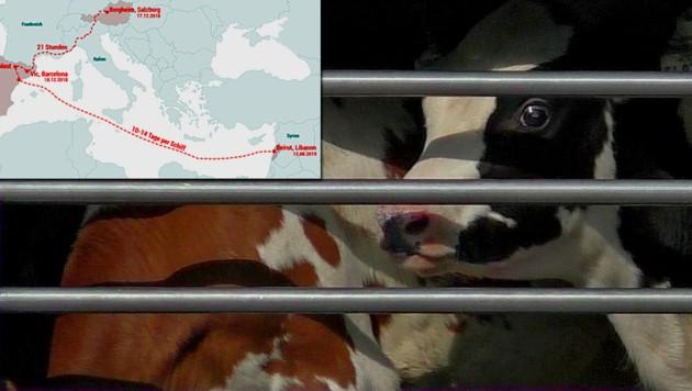 Kälber unterwegs über Tausende Kilometer (Bild: VGT, Animals International, krone.at-Grafik)